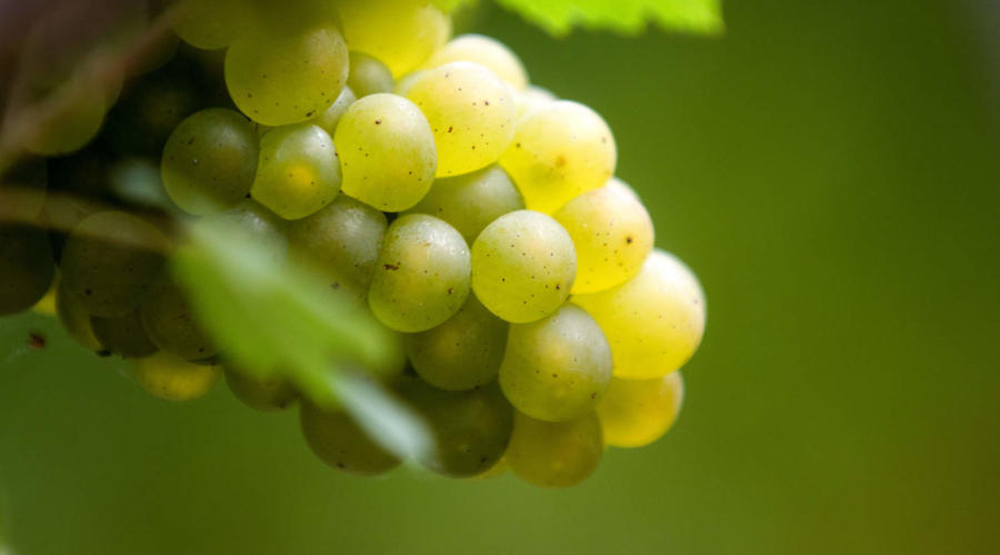 Chardonnay: The Great White Grape