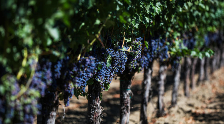 Syrah: The Winemaker's Grape